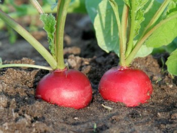 radishes: winter garden vegetables