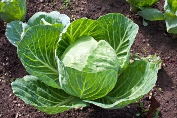 Cabbage-great for winter