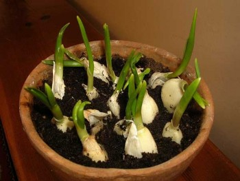 indoor winter vegetable garden: garlic in a pot