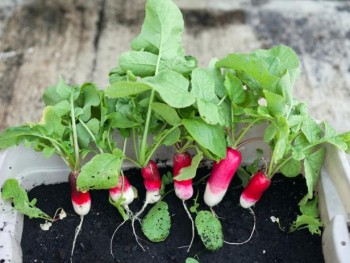Radishes: indoor winter vegetable garden