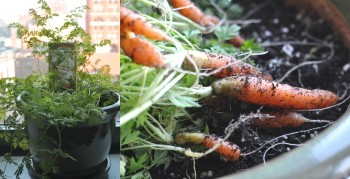 carrots grown indoors