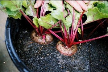 Indoor winter vegetable garden: beets