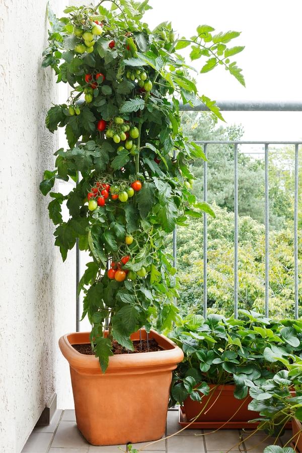 container gardening veggies-tomatoes