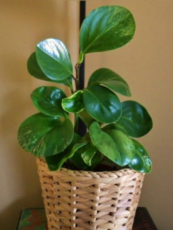 10-house-plants-that-will-purify-the-air-in-your-home10