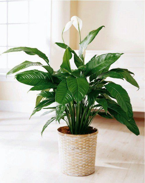 10-house-plants-that-will-purify-the-air-in-your-home3