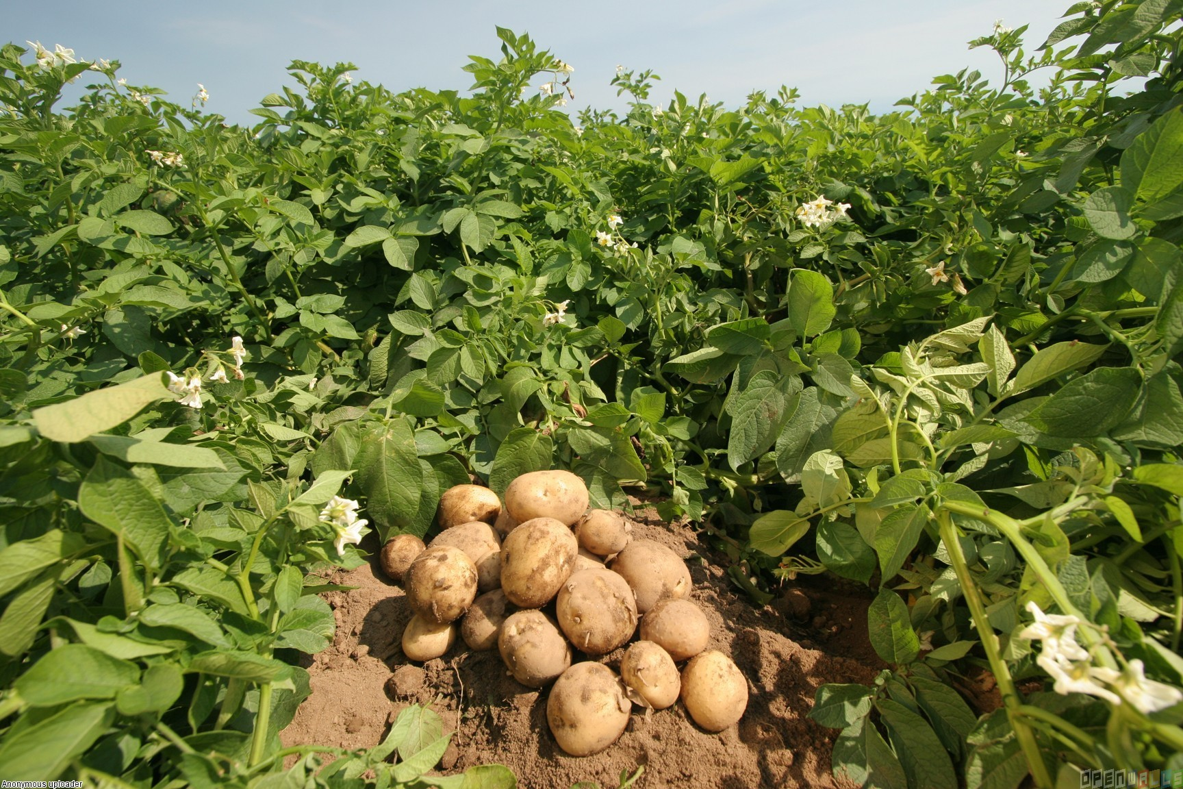How to Plant Potatoes, Potato Growing Tips, How to Grow Potatoes, Potato Growing Tips and Tricks, Gardening, Vegetable Gardening, Root Vegetables, How to Grow Root Vegetables, Vegetable Gardening, Gardening 101, Popular Pin.