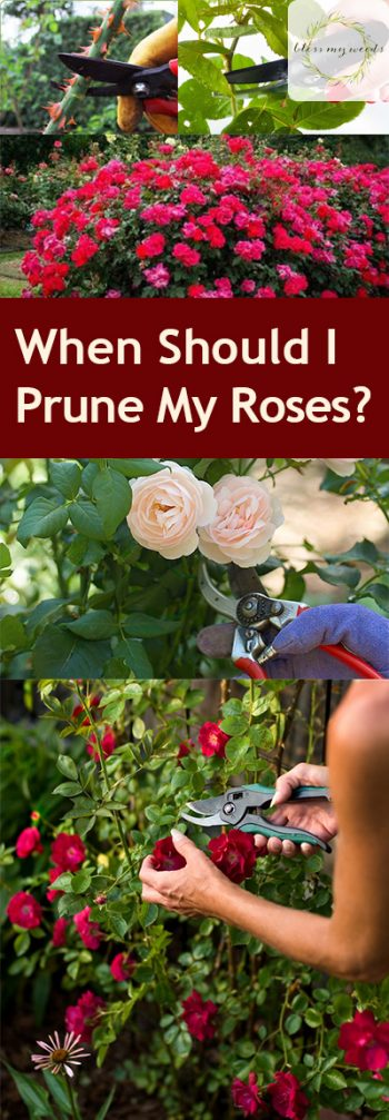 When Should I Prune My Roses? Pruning Roses, How to Prune Your Roses, Garden, Gardening Tips and Tricks, Gardening 101, Gardening Hacks, Rose Pruning Tips and Tricks, Flowers, Flower Growing Tips, Popular Gardening Tips