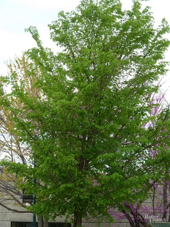 Shade Trees for Your Yard  Shade Trees, How to Grow Trees, Shade Trees for Any Yard, Landscaping With Trees, Yard Shade, How to Make Your Yard Shady, Landscaping
