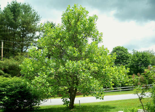 Shade Trees for Your Yard| Shade Trees, How to Grow Trees, Shade Trees for Any Yard, Landscaping With Trees, Yard Shade, How to Make Your Yard Shady, Landscaping