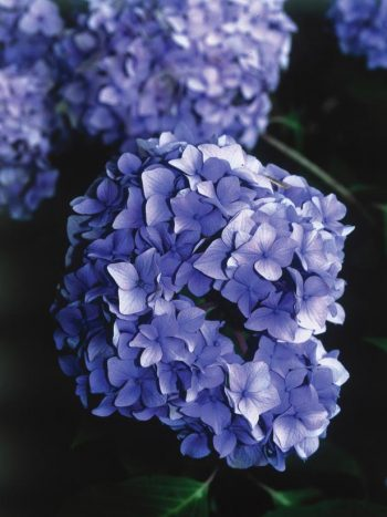 Grow the Prettiest Hydrangeas — Here's How! Growing Hydrangeas, How to Grow Hydrangeas, Hydrangea Growing Tips and Tricks, Flower Gardening, Flower Gardening Hacks, Gardening 101, Outdoor DIY, Outdoor Projects