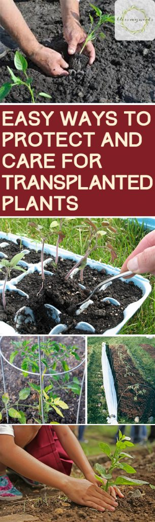 How to Care for Transplanted Plants, Transplanting Plants, Seed Starting, Seed Starting Tips and Tricks, How to Start Seeds, Easy Ways to Start Seeds, Caring for Your Garden, Garden Care Tips and Tricks