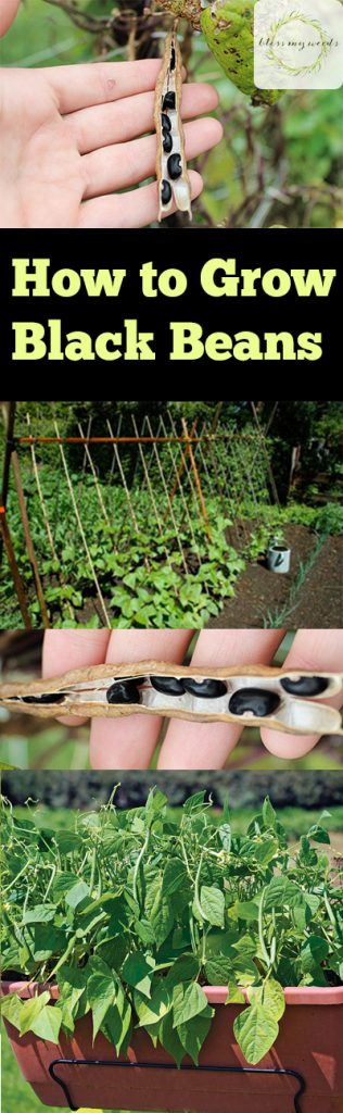 How to Grow Black Beans, Growing Black Beans, Gardening Black Beans, How to Garden Black Beans, How to Care for Black Beans, Gardening, Gardening Tips and Tricks, Gardening Hacks, Popular Pin