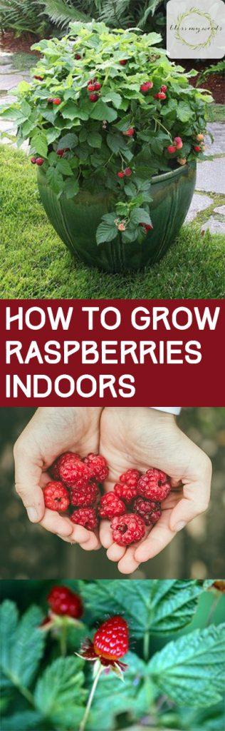 Growing Raspberries, How to Grow Raspberries, Growing Raspberries Indoors, Indoor Gardening, Indoor Gardening Tips and Tricks, How to Indoor Garden, Planting Raspberries in Containers