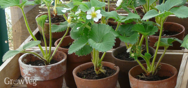 How to Grow Strawberries| Gardening, Gardening Tips and Tricks, How to Grow Strawberries in Pots, Container Gardening, Container Gardening Tips and Tricks, Gardening Hacks, Gardening Fruit for Beginners, Strawberry Growing Tips and Tricks