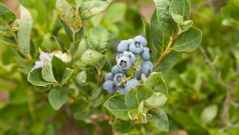 Delicious Berries You Can Grow in Containers - Gardening, Container Gardening, How to Grow Berries, Growing Berries, Gardening Hacks, Container Gardening Hacks, Popular Pin