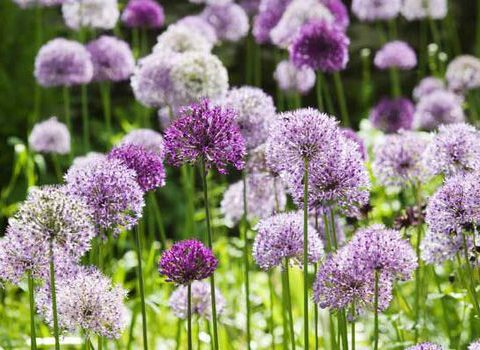 Grow the Most Incredible Alliums - How to Grow Alliums, Growing Alliums, Gardening, Gardening Tips and Tricks, Gardening 101, Gardening Hacks, Popular Pin