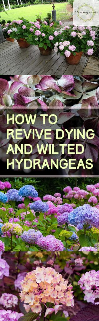 How to Revive Dying and Wilted Hydrangeas - How to Care for Hydrangeas, Caring for Hydrangeas, Gardening, Gardening Hacks, Gardening Tips and Tricks, How to Care for Hydrangeas, Popular Pin