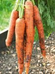 How to Grow the Best Root Veggies - Growing Root Vegetables, Easy to Grow Root Vegetables, How to Grow Root Vegetables, Vegetable Gardening TIps and Tricks, Vegetable Gardening Hacks, Vegetable Gardening Tips and Tricks, Popular Pin