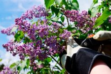 How to Grow Lilacs - Gardening, How to Grow Lilacs, Growing Lilacs, How to Grow Lilacs Easily, Lilac Growing Tips and Tricks, Flowers, Flower Gardening, Gardening Hacks, Gardening 101, Gardening Tips and Tricks.