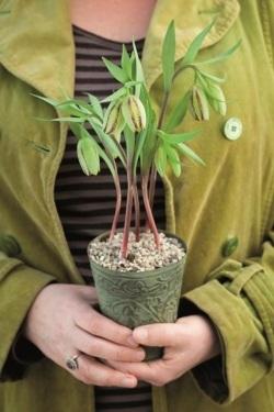Garden, Gardening Tips and Tricks, Gardening 101, Gardening Hacks, Growing Flowers, Growing Fritillaries.