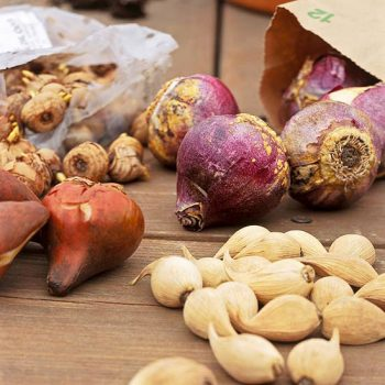 How to Plant Bulbs This Fall (for Maximum Spring Growth!) - Planting Bulbs, How to Plant Bulbs, Planting Bulbs for Maximum Spring Growth, Gardening, Gardening Tips and Tricks, Fall Gardening Ideas, Fall Gardening Projects
