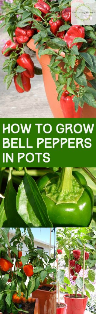 How to Grow Bell Peppers in Pots - Growing Bell Peppers, How to Grow Bell Peppers, Container Gardening, Container Gardening Hacks, Container Gardening Tips and Tricks, Gardening Hacks, Popular Pin