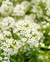 10 Flowers That Smell Seriously Amazing - Flowers that Smell Good, Flower Garden, Flower Garden Tips and Tricks, Gardening, Gardening TIps and Tricks, Flower Gardening, Gardening 101, How to Grow Flowers, Popular Pin
