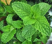 Here's Why You Should Be Growing Mint! - Bless My Weeds| How to Grow Mint, Growing Mint, Super Simple Ways to Grow Mint, Gardening, Growing Mint, Mint Gardening, Uses for Mint, How to Easily Propagate Mint, Popular Pin