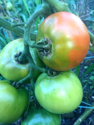 Tomatoes Not Turning Red? Here's Why - Tomatoes, Tomato Growing Tips and Tricks, How to Grow Tomatoes, Grow Delicious Tomatoes, Tomato Care Tips, Popular Pin