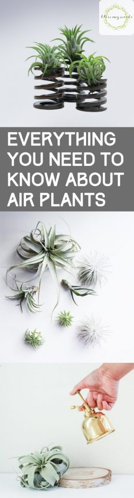 Everything You Need to Know About Air Plants - Bless My Weeds| Care for Air Plants, How to Care for Air Plants, Air Plant Care and Tips, Here's What You Need to Know About Air Plants, Indoor Gardening, Indoor Gardening TIps and Tricks, Popular Pin