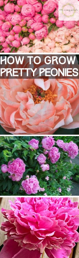 How to Grow Pretty Peonies - Bless My Weeds| Growing Peonies, How to Grow Peonies, Gardening, Gardening Tips and Tricks, Growing Flowers, How to Grow Flowers, Peony Growing Tips and Tricks, How to Care for Your Peonies, Popular Pin