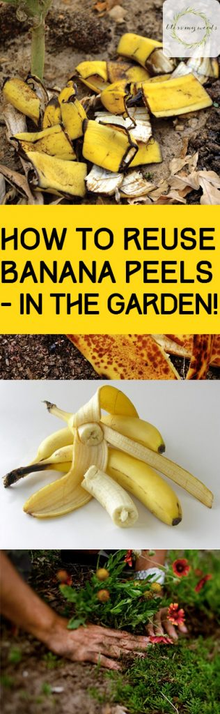 How to Reuse Banana Peels - in the Garden! - Bless My Weeds Using Banana Peels In the Garden, Natural Gardening TIps, All Natural Fertilizer, Organic Fertilizers for Your Garden, Fertilizing Tips, Cool Things to Do With Banana Peels, Popular Pin