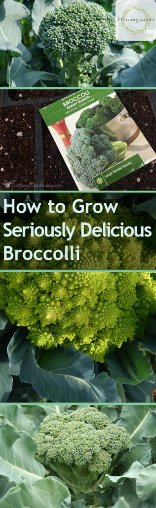 How to Grow Seriously Delicious Broccoli - Bless My Weeds| Grow Broccoli, How to Grow Broccoli, Vegetable Growing Tips and Tricks, How to Grow Vegetables, Gardening, Vegetable Gardening, Gardening 101, Gardening Tips. #Garden #VegetableGardening #GardeningTips #WinterGarden