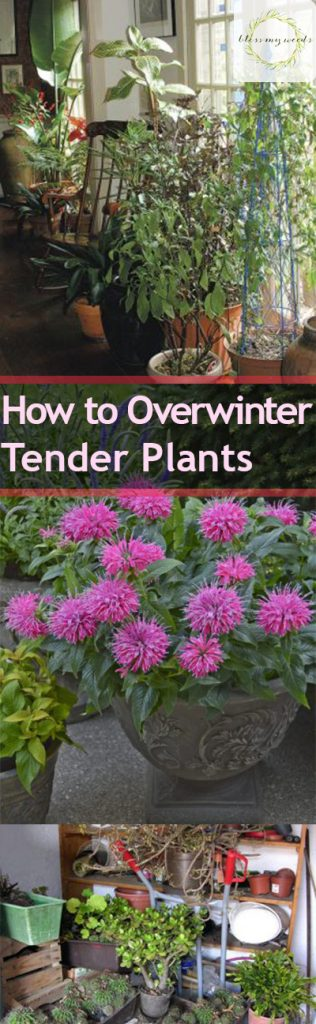 How to Overwinter Tender Plants - Bless My Weeds| Overwintering Plants, Winter Plant Care, Winter Plant Care Hacks, Winter Gardening, Garden Care, Garden Care Tips, Popular Pin #WinterGardening #GardenCare #GardeningTips #OverwinterPlants