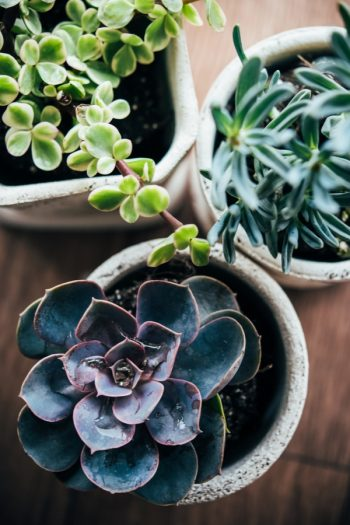 There is a right way and a wrong way when potting succulents. But if you know the correct tips, potting succulents can be a fun and successful indoor gardening hobby! I'll even show you how you can transplant your succulents.