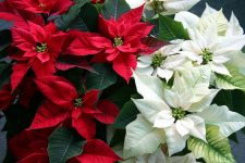 Caring for Poinsettias Throughout the Holiday Season| How to Care for Poinsettias, Plant Care, Plant Care Hacks, Holiday Plant Care, Christmas, Christmas Crafts, Popular Pin #Christmas #PlantCareHacks