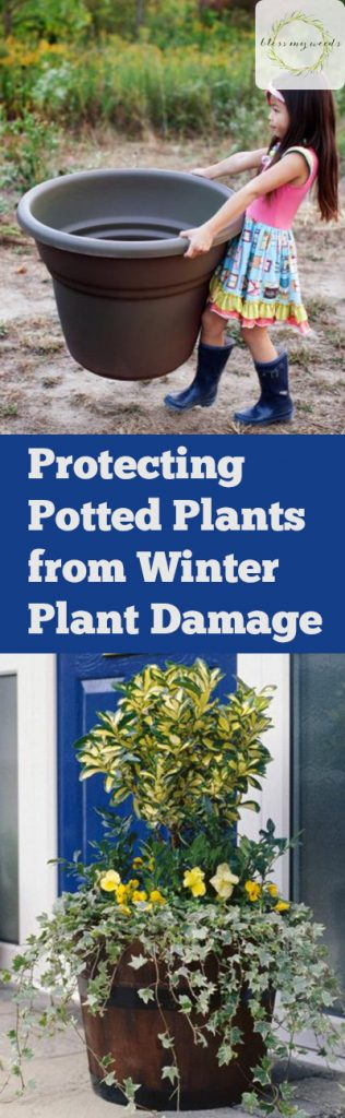 Protecting Potted Plants from Winter Plant Damage - Bless My Weeds| Winter Gardening, Winter Gardening Hacks, Potted Plants, Caring for Potted Plants, How to Care for Potted Plants, Winter Gardening 101 #WinterGardening #Gardening