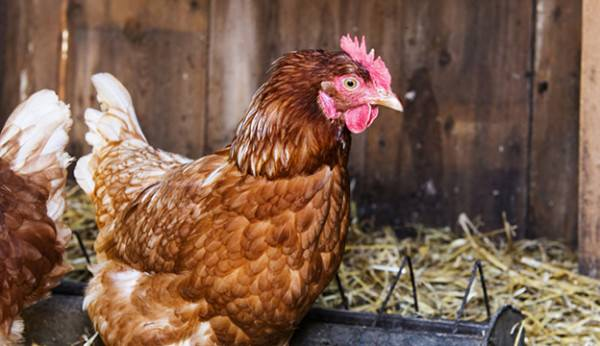 How to Care for Chickens in the Wintertime - Bless My Weeds| Gardening, Winter Gardening, Winter Gardening Hacks,Chicken Care, How to Care for Chickens, Popular Pin #CaringforChickens #WinterGardening