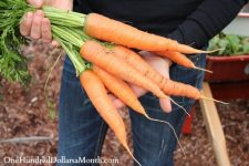 Keep Your Carrots Fresh All Winter - Bless My Weeds| Gardening, Gardening Hacks, Gardening Tips and Tricks, How to Keep Produce Fresh, Gardening, Gardening Tips and Tricks, Carrot Preservation, Popular Pin #Gardening #GardeningHacks