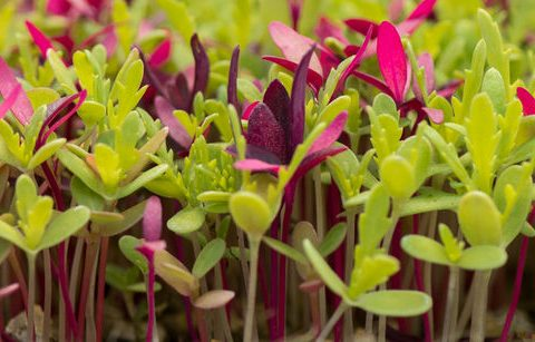 11 Microgreen Growing Tips and Tricks - Bless My Weeds| How to Grow Microgreens, Gardening, Gardening Tips and Tricks, Indoor Gardening, Indoor Gardening Tips and Tricks #Gardening #IndoorGardening