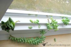 How to Propagate Succulents in the Winter - Bless My Weeds| Succulents, Succulent Care, Winter Gardening, Winter Gardening Tips and Tricks, Succulent Gardening, Gardening Hacks, Indoor Gardening, Popular Pin #Succulents #Gardening