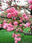 How to Choose the Right Crabapple Variety - Bless My Weeds| Gardening, Growing Crabapples, How to Grow Crab Apples, Fruit Tree, Fruit Tree Gardening, Gardening Hacks, Popular Pin #Crabapples #Gardening