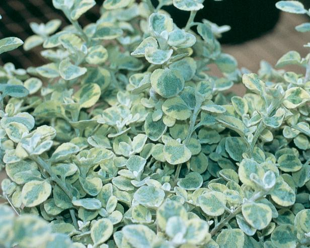 Plant Encyclopedia: Licorice Plant - Bless My Weeds| Licorice Plant, Licorice Plant Care, Plant Care, Caring for Licorice Plant, How to Care for Licorice Plant, Landscaping, Plant Care Ideas, Easy Plant Care, Popular Pin #LicoricePlant #Gardening #PlantCare