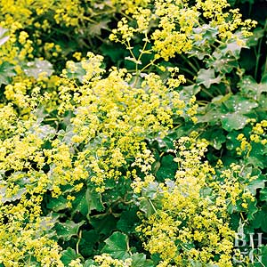 Plant Encyclopedia: Lady's Mantle - Bless My Weeds| Lady's Mantle, Growing Lady's Mantle, How to Grow Lady's Mantle, Gardening, Gardening 101, Gardening Tips and Tricks, How to Plant Care, Plant Care TIps and Tricks, Easy Plant Care Ideas, Plant Care, Popular Pin #LadysMantle #PlantCare #EasyPlant Care