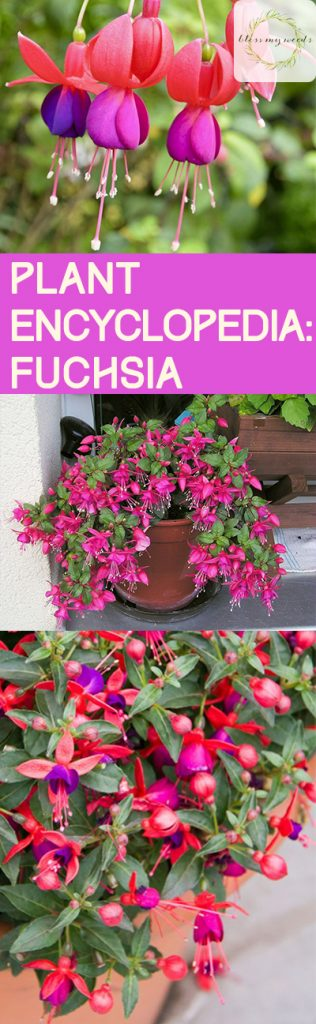 Plant Encylopedia: Fuchsia - Bless My Weeds| How to Grow Fuchsia, Growing Fuchsia, Gardening, Gardening Tips and Tricks, Gardening Hacks, Flower Gardening, Popular Pin #Fuchsia #Gardening