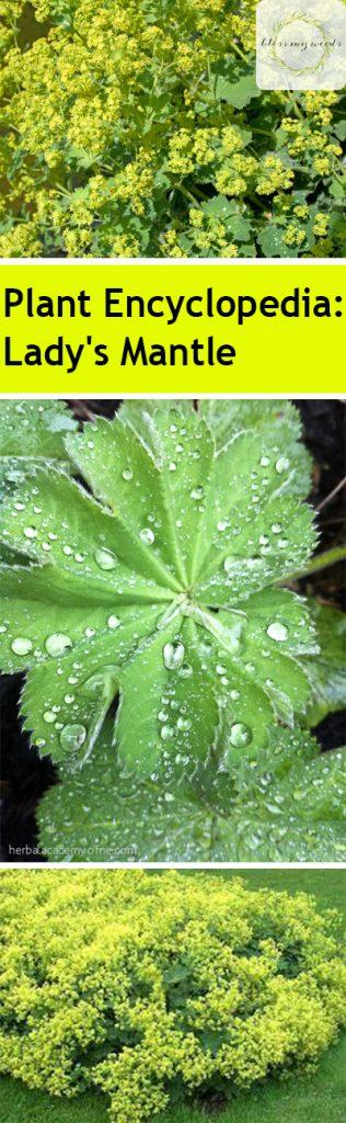 Plant Encyclopedia: Lady's Mantle - Bless My Weeds  Lady's Mantle, Growing Lady's Mantle, How to Grow Lady's Mantle, Gardening, Gardening 101, Gardening Tips and Tricks, How to Plant Care, Plant Care TIps and Tricks, Easy Plant Care Ideas, Plant Care, Popular Pin #LadysMantle #PlantCare #EasyPlant Care