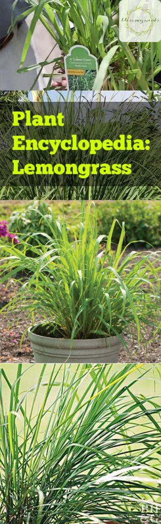 Plant Encyclopedia: Lemongrass - Bless My Weeds| Gardening, How to Grow Lemongrass, Gardening 101, Indoor Gardening, Gardening Tips and Tricks #Lemongrass #Gardening