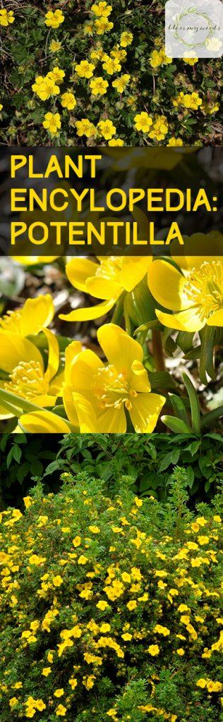 Plant Encylopedia: Potentilla - Bless My Weeds| Gardening, Gardening Hacks, How to Grow Potentilla, Growing Flowers, How to Grow Flowers, Gardening 101, Popular Pin #Potentilla #Garden