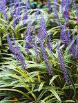 Plant Encyclopedia: Lilyturf - Bless My Weeds  Lilyturf, Lilyturf Care, Caring for Lilyturf, How to Care and Maintain Lilyturf, Gardening, Gardening TIps, Gardening TIps and Tricks, Plant Encyclopedia. #Gardening #Lilyturf