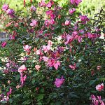 Plant Encyclopedia: Butterfly Rose - Bless My Weeds| Butterfly Rose, Butterfly, Gardening, Growing Rose, Growing Butterfly Rose, How to Grow Butterfly Rose, Gardening 101, Gardening Tips and Tricks, Popular Pin #Gardening #ButterflyRose